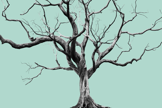 Old Big Giant Tree alone on Muted color background.