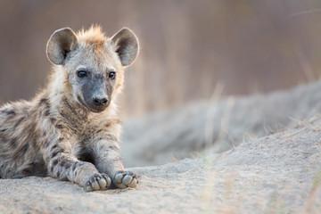Photo sur Aluminium Hyène Hyena Cub