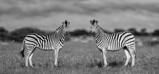 Aluminium Prints Zebra zebra in africa