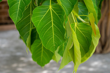 Close-up of Bodhi tree leaves, It is an important pilgrimage site for Buddhists and they believed Buddha's enlightenment underneath the Bodhi Tree.