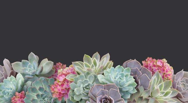 Succulent isolated on dark background. Border floral banner, cover, header with copy space. Natural flowers wallpaper or greeting card.