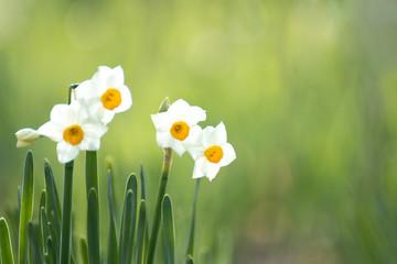早春に咲くスイセン