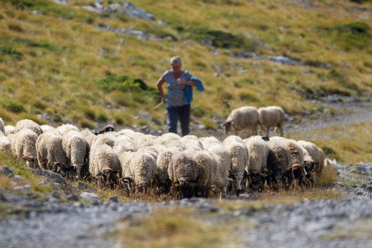 The herd of sheep and the shepherd on the Velebit Mountain, Croatia
