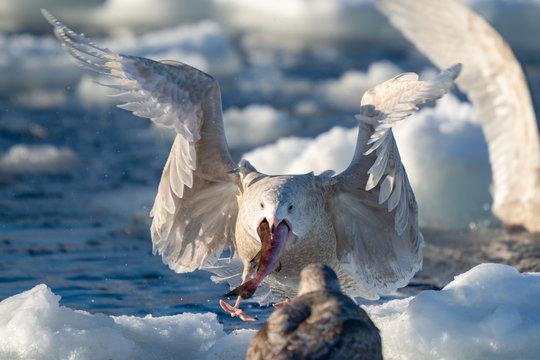 Seagulls From Rausu Hokkaido Japan in Flight Portraits