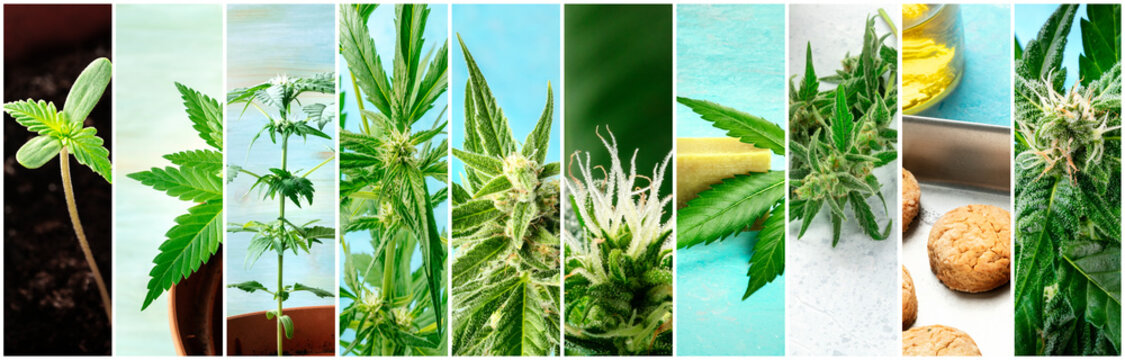 Cannabis collage. Many photos of various stages of growing marijuana plants at home, and organic hemp products