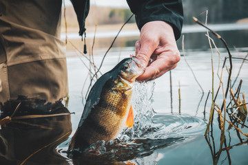 Close-up perch in the hand of a fisherman.