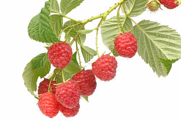 Raspberry twig with leaves