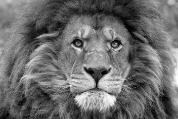 Lion photo noir et blanc