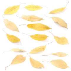 Collection group beautiful colorful autumn cherry leaves