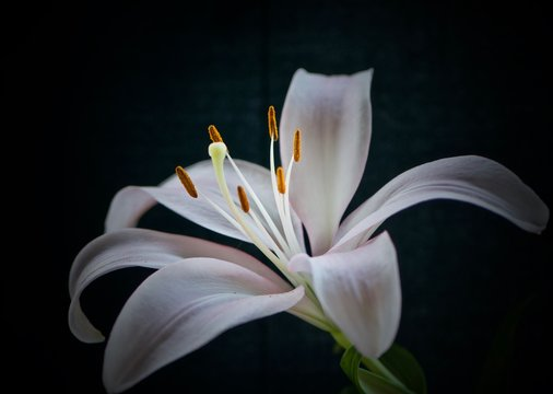 Pale Pink Lily on Black