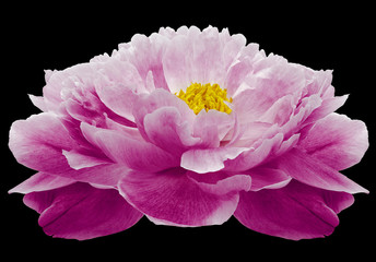 pink Peony flower on the black isolated background with clipping path. Nature. Closeup no shadows. Garden flower.