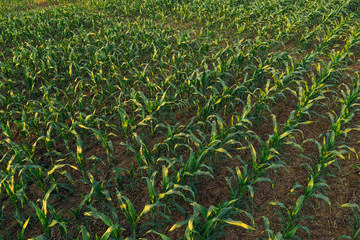 Cultivated sorghum field in sunset