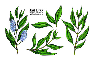 Tea tree vector drawing. Isolated vintage illustration of medical plant