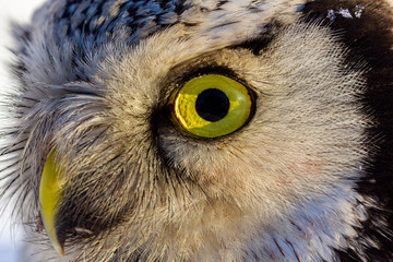 Papiers peints Chouette close up photo of an owl bird with beautiful yellow eyes and beak