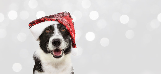 Banner border collie dog celebrating christmas holidays wearing a red santa claus hat. Isolated on gray background
