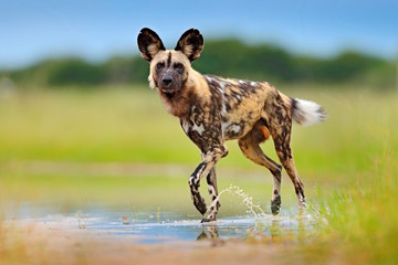 In de dag Afrika Wild dog, walking in the green grass with water, Okavango delta, Botswana in Africa. Dangerous spotted animal with big ears. Hunting painted dog on African safari. Wildlife scene from nature.