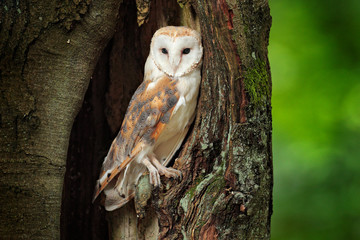 Wall Mural - Barn owl, Tyto alba sitting on tree trunk at the evening with nice light near the nesting hole. Wildlife scene from nature. Owl in the dark forest, Czech Republic, Europe.