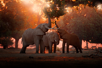 Foto op Plexiglas Olifant Elephant feeding feeding tree branch. Elephant at Mana Pools NP, Zimbabwe in Africa. Big animal in the old forest. evening light, sun set. Magic wildlife scene in nature.