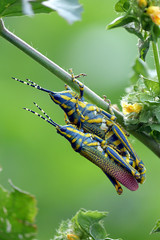 They are painted grasshopper also known as the Dactylotum bicolor, rainbow grasshopper, They are making Love in this picture.