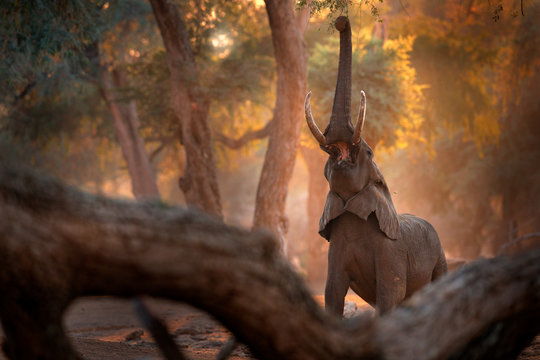 Elephant at Mana Pools NP, Zimbabwe in Africa. Big animal in the old forest. evening light, sun set. Magic wildlife scene in nature. African elephant in beautiful habitat. Sunset in Africa.