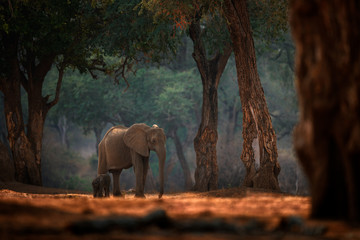 Deurstickers Olifant Elephant baby. Elephant at Mana Pools NP, Zimbabwe in Africa. Big animal in the old forest, evening light, sun set. Magic wildlife scene in nature. African elephant in beautiful habitat. Young pup.