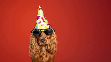 Wall Mural - Party time for birthday. English cocker spaniel young dog is posing. Cute playful brown doggy or pet in sunglasses isolated on red background. Concept of motion, action, movement, pets love. Looks
