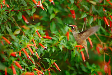 Blossomcrown humminbird, in red bloom flower garden, Santa Marta in Colombia. Bird fly in the nature habitat. Wildlife in Colombia, Blossomcrown flight. Red and green vegetation.