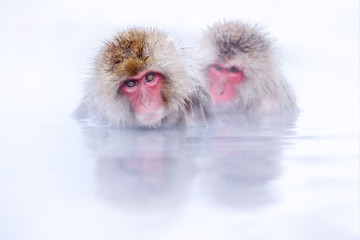 Monkey bath.  Japanese macaque, Macaca fuscata, red face portrait in the cold water with fog, animal in the nature habitat, Hokkaido, Japan. Wide angle lens photo with nature habitat. Family in spa