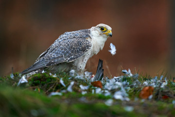 Lanner Falcon, Falco biarmicus, rare bird of prey with orange leaves in autumn forest, Spain. Wildlife scene from nature. Autumn in orange forest. Falcon with catch dove, bird behaviour, wildlife.