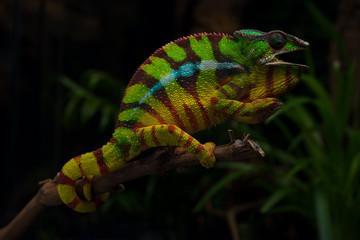 Colorful lizard beautiful Panther chameleon