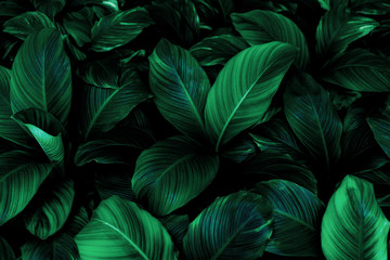 Acrylic Prints Plant leaves of Spathiphyllum cannifolium, abstract green texture, nature background, tropical leaf