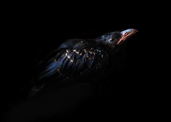 raven bird on a black background. Black raven in the dark.-image
