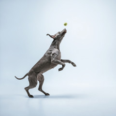 Wall Mural - Ghost runner. Weimaraner dog is playing with ball and jumping. Cute playful grey doggy or pet playful catching toy isolated on blue background. Concept of motion, action, movement, pets love.