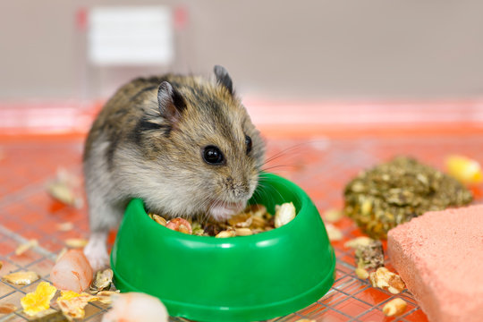 The Djungarian hamster is eating dry food from the green plastic bowl.