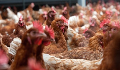 Free range chicken. Poultry. Caroussel stable. Netherlands. Farming