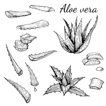 Aloe vera organic plant set with bunch and leaves, Hand drawn line art, ink drawing vector illustratin on white background