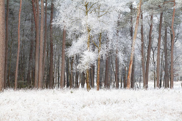 tree in forest in white frost during winter