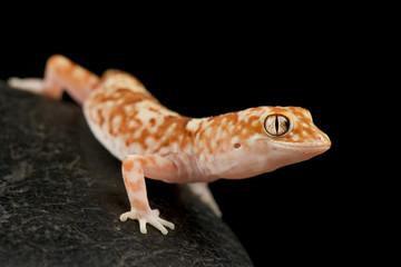 Wall Mural - Gibber Gecko (Lucasium byrnei)