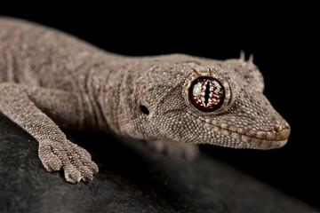 Wall Mural - Western Shield Spiny-tailed Gecko (Stropurus wellingtonae)