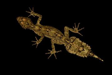 Wall Mural - Border Ranges leaf-tailed gecko (Saltuarius swaini)