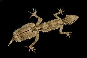 Wall Mural - northern leaf-tailed gecko (Saltuarius cornutus)