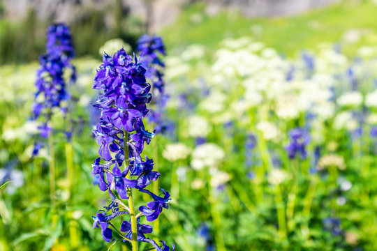 Macro closeup blue delphinium nuttallianum larkspur flowers on meadow field on trail to Ice lake near Silverton, Colorado in August 2019 summer