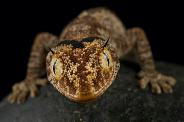 Wall Mural - northern spiny-tailed gecko (Strophurus ciliaris)