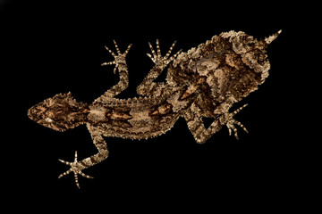 Wall Mural - Central Queensland leaf-tailed gecko (Saltuarius salebrosus)
