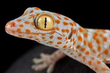 Wall Mural - Tokeh (Gekko gecko)