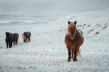 Icelandic horses are very unique creatures for the Iceland. These horses are more likely ponies but quite bigger and they are capable of surviving hard weather conditions that are usual for the north