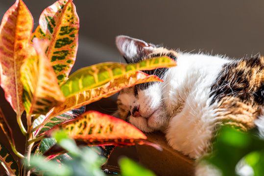 Calico cat closeup sleeping in sunlight by window of house hiding behind croton red plant in room