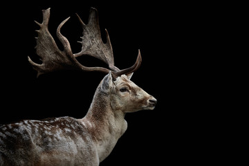 Photo sur Aluminium Cerf Side view and close-up of a male fallow deer (Dama dama) isolated on black background