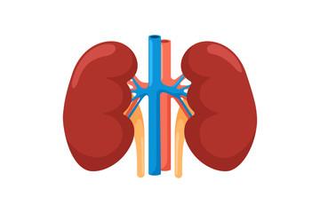 Kidney human internal organ. Urinary endocrine system front view vector illustration