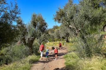 Wandern zwischen Olivenbäumen auf Mallorca